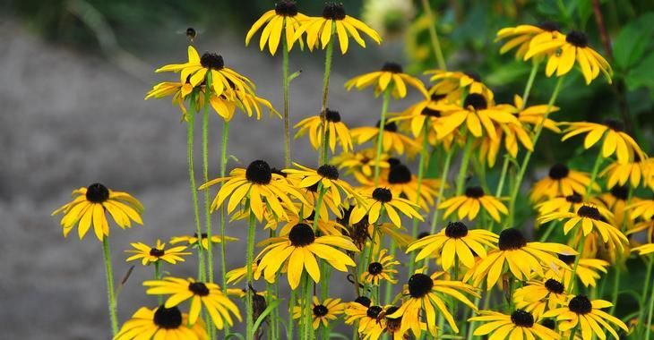 Rudbeckia missouriensis JS® 'Fairly Free'