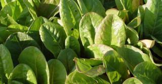 Rumex acetosa var. hortensis (ZURKEL)