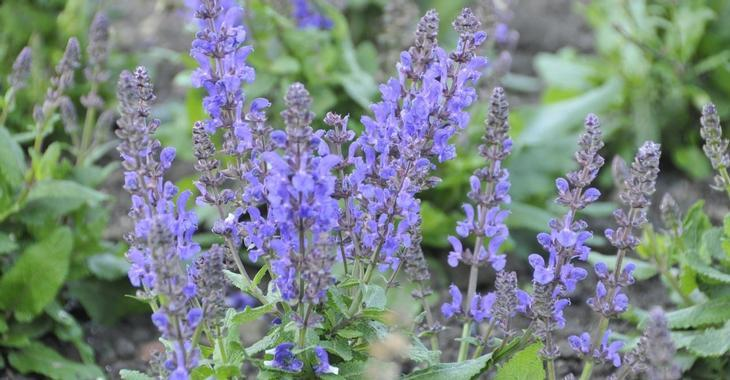 Salvia nemorosa JS® 'A Little Bit' PBR