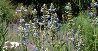 Salvia uliginosa 'African Skies'