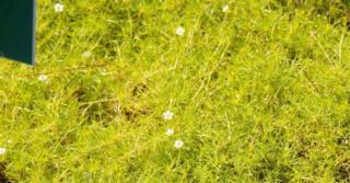 Sagina subulata 'Aurea'