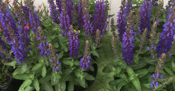 Salvia BLUE BOUQUETTA® 'ALKLF'