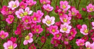 Saxifraga arendsii 'Blütenteppich'