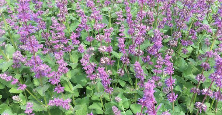 Salvia verticillata 'Endless Love'