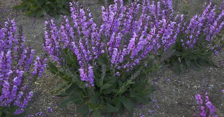 Salvia 'Lilac Lipstick'