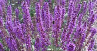 Salvia nemorosa JS® 'Mother Tilley'