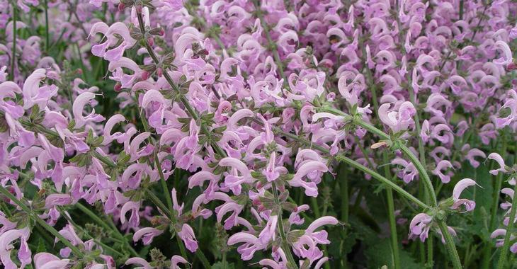Salvia pratensis 'Pink Delight' PBR