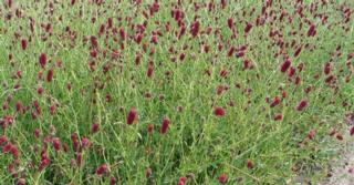 Sanguisorba officinalis 'Red Thunder'