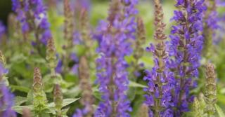 Salvia nemorosa 'Sensation Blue'