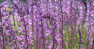 Salvia sylvestris (x) 'Serenade'