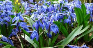 Scilla siberica 'Spring Beauty' LOS