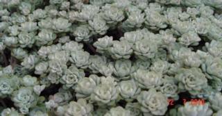 Sedum (L) spathulifolium 'Cape Blanco'