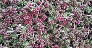 Sedum (L) album 'Coral Carpet'