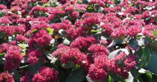 Sedum (H) 'Red Cauli'