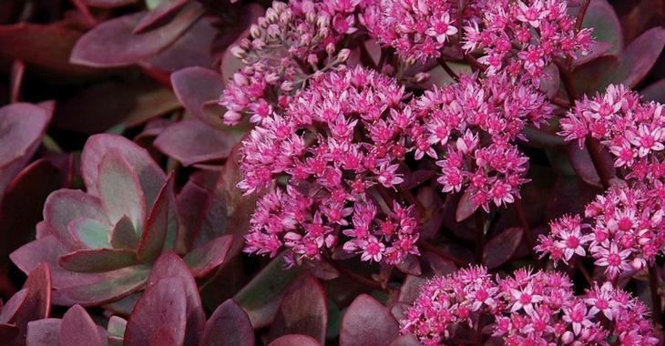 Sedum (H) SUNSPARKLER® 'Firecracker' PBR