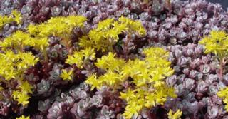 Sedum (L) spathulifolium 'Purpureum'