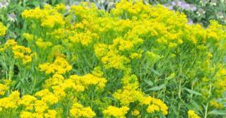 Solidago ohioensis JS® 'Four Seasons'