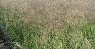 Sporobolus airoides JS® 'Delicatesse'