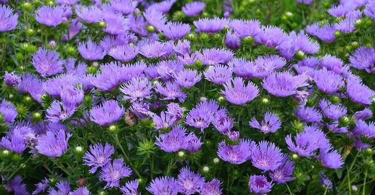 Stokesia laevis MELS BLUE ®