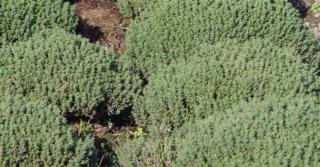 Thymus vulgaris 'Compactus' (TUINTIJM)