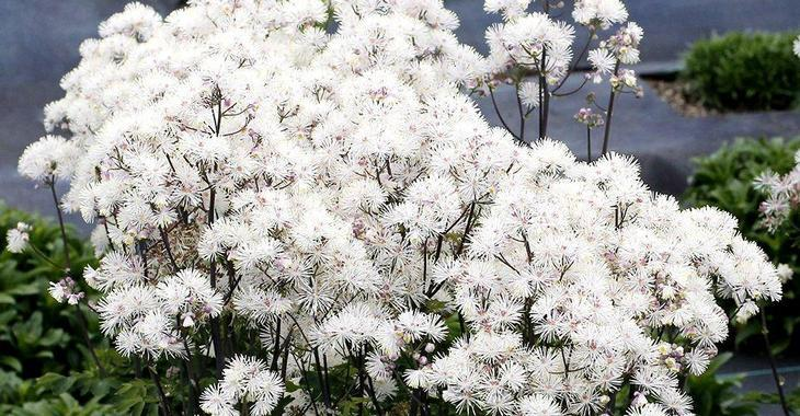Thalictrum 'Nimbus White'