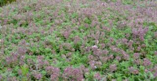 Thymus praecox 'Pseudolanuginosus'
