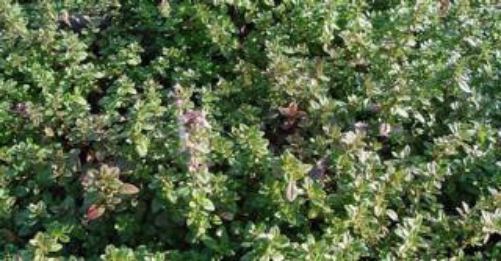 Thymus serpyllum (WILDE TIJM)
