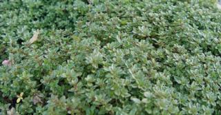 Thymus citriodorus (x) (Type Lammefjord)
