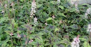 Tiarella 'Sugar and Spice' PBR