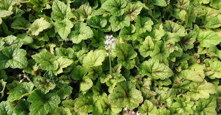 Tiarella 'Sunset Ridge'