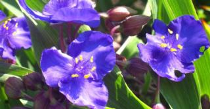 Tradescantia 'Zwanenburg Blue'