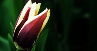 Tulipa 'Chansonnette' LOS