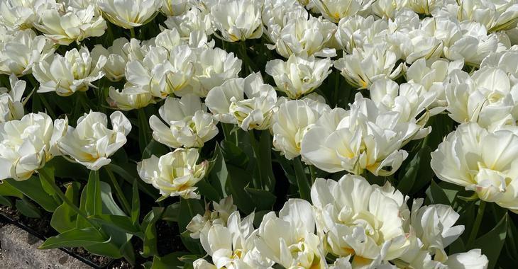 Tulipa 'Exotic Emperor' LOS