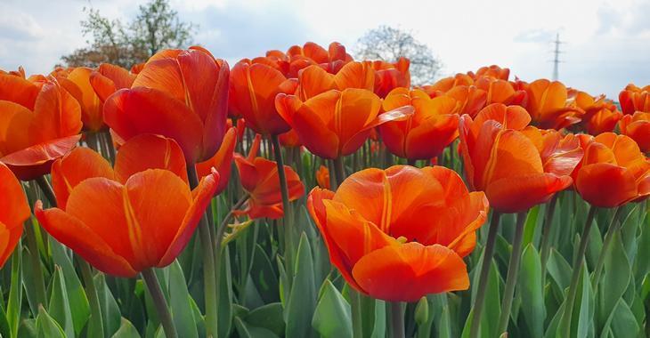 Tulipa 'Malaika'