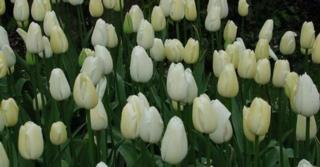 Tulipa 'Maureen' LOS