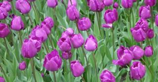 Tulipa 'Negrita' LOS