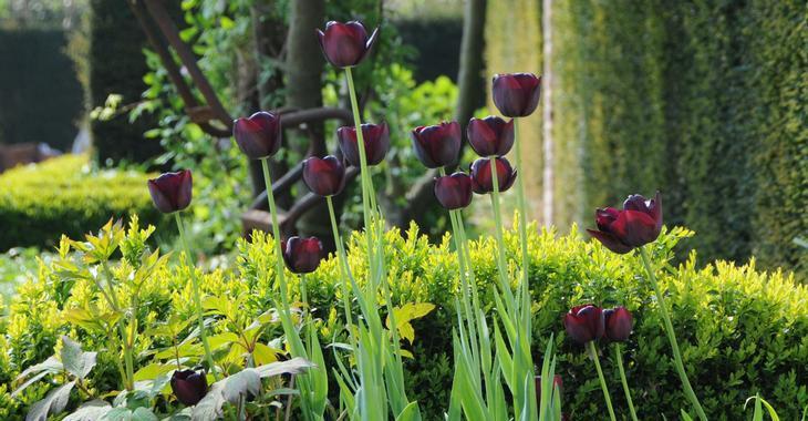 Tulipa 'Queen of Night' LOS