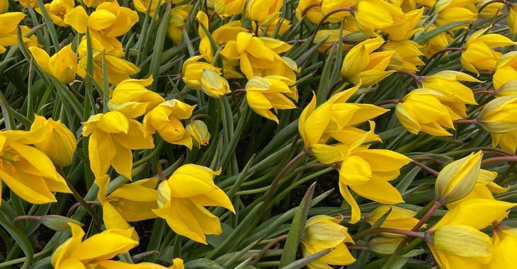 Tulipa sylvestris
