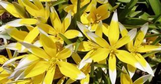 Tulipa tarda LOS