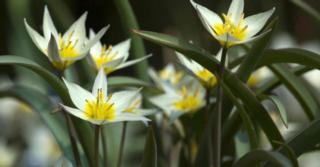 Tulipa turkestanica LOS