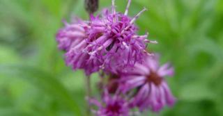 Vernonia crinita JS® 'Betty Blindeman'