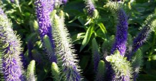 Veronica spicata ROYAL CANDLES ®