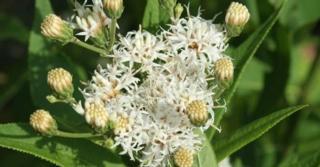Vernonia noveboracensis 'White Lightning'