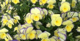 Viola 'Etain' (Cornuta-Group)