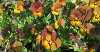 Viola 'Irish Molly' (Cornuta-Group)
