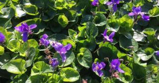 Viola odorata 'Königin Charlotte'