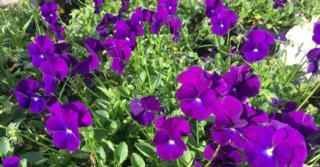 Viola 'Martin' (Cornuta-Group)