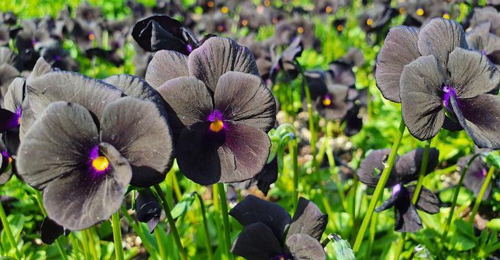 Viola 'Molly Sanderson' (Cornuta-Group)