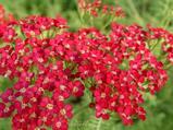 Achillea millefolium 'Petra'