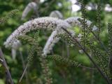 Actaea simplex 'Prichard's Giant'
